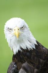 DSC_4905 copy (J A West) Tags: americanbaldeagle green eyes feather eagle nikond7000 nikkor70300 florida