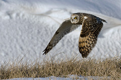 Short eared owl in flight. Wild. (Mel Diotte) Tags: short eared owl flight