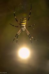 En busca del sol / In search of the sun (http://www.jcfajardophotography.com/) Tags: andalucãa andalusia araã±a araã±atigre argiopebruennichi dobleexposiciã³n doubleexposition elturro espaã±a granada insect insecto invertebrado invertebrate macro naturaleza nature spain spider nikon nikond800 d800 nikonlenses nikkorlenses nikonlens nikkor nikkorlens nikkor105mmf28gifedvr nikkor105mmf28edvrmicro nikkor105mmf28gedvr nikkor105mmf28vrmicro sigma sigma70200f28os sigmalens sigma70200f28dgexhsmos sigma70200mmf28exdghsmos f28 70200f28 70 200 edlenses ed edlens goldenring primelens naturephotographer naturepics natureimages nikonnature wildlife wild wildphotographer wildlifephotographer sol sun spyder invertebrados invertebrates