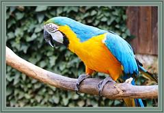 Gelbbrustara / Ara ararauna (Martin Volpert) Tags: mavo43 gelbbrustara araararauna papageien aras vogelparkuckersdorf arini psittacidae psittaciformes