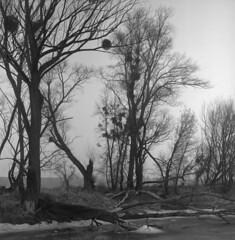 Winter, 2017, Vistula oxbow lakes (Other dreams) Tags: rolleiflex xenar vistula bw landscape polish pomerania oxbow ice frozen winter 2017