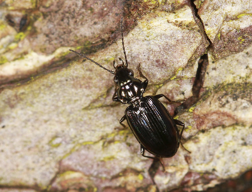Ground Beetle (4mm)