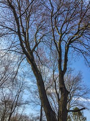 """""""Untitled."""" [Original.] (Yorktown Heights, New York, USA; 4/11/17.) (A Million Shards of Light) Tags: iphone outdoor nature branches growth texture light color beautiful season usa unitedstates westchester newyork buds bloom red blossom trunk blue sky spring tree"""