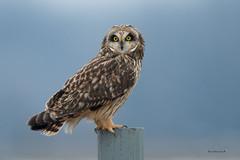 "Short-eared Owl"" (Earl Reinink) Tags: owl raptor earl reinink earlreinink nature natirephotography niagara shortearedowl atzaaudia"