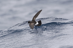 New Zealand Storm-petrel (Baractus) Tags: new zealand stormpetrel hauraki gulf pelagic john oates