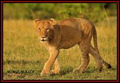 YOUNG SUB-ADULT MALE CUB (Panthera leo)  ......MASAI MARA......SEPT 2015 (M Z Malik) Tags: nikon d3x 200400mm14afs kenya africa safari wildlife masaimara kws exoticafricanwildlife exoticafricancats flickrbigcats leo lioncubs ngc