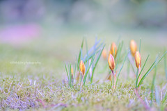 Good Morning ♪ (littlekiss☆) Tags: crocus flower ground grass spring nature bokeh vandusenbotanicalgarden vancouver littlekissphotography