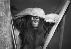 It's Good To Be Young (Longleaf.Photography) Tags: orangutan baby cute eyes wildlife zoo animal ape monkey play youthful blanket birmignham