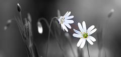 have you heard... (Myanoli) Tags: flower blume macrodreams macro natur nature wiese meadow plants canon 70d