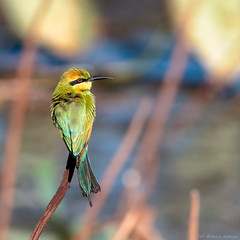 Rainbow Bee-eater (Merops Ornatus) (Arturo Nahum) Tags: australia aves animal arturonahum ave airelibre birdwatcher bird birds wilflife wild nature naturaleza naturephotography pajaro pajaros