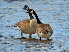 Canada Goose (Corine Bliek) Tags: ganzen geese bird birds vogel vogels birding nature natuur wildlife waterfowl watervogels brantacanadensis blackandwhite
