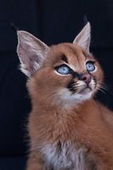 Voici-la-plus-belle-race-de-chat-sur-Terre-Le caracal - Les-photos-vont-vous-faire-fondre-le-cœur-WOW-2 (CISSÉO) Tags: nature animaux félin chaton sauvage caracal