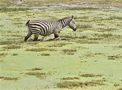 """The Good Stuff is Over Here"" (The Spirit of the World) Tags: pond water zebra animal stripes walking safari murky green aboselinationalpark gamereserve kenya eastafrica africa plains wildlife nature algae"