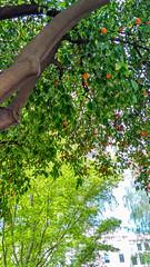 Seville orange (melastmohican) Tags: essential natural nature medicine appetite orange plant tree suppressant ripe yellow organic asian citrus seville outdoor healthy daidai garden oil marmalade food herbal bitter aurantium synephrine bigarade hanging ingredient sour fresh fruit stimulant green sacramento california unitedstates us