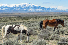 Mustangs and Absarokas (kevin-palmer) Tags: cody greybull wyoming blm friendsofalegacy wild horses mustangs animals wildlife spring april sunny blue sky sagebrush absarokamountains mcculloughpeaksmustangs snowcapped nikon180mmf28 telephoto