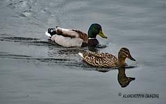 Mr and Mrs Mallard . (Alanchippyh) Tags: duck birds brown black white waterreflections graybrown gray yellowishgreen