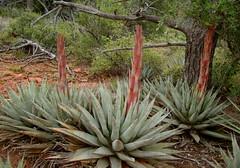 Jim Thompson trail sedona, az (redrock flyer) Tags: jimthompsontrail hiking sedonaaz redrocks cactus centuryplant