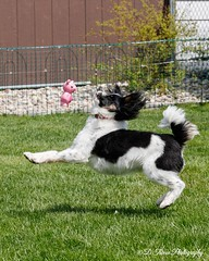 When Pigs Fly! (Denise Trocio (D Trocio Photography)) Tags: jasper dog pet outdoors running toy pig papillon animal backyard