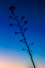 Saguaro NP | East-Rincon Mountain District | Agave at Twilight (Facundity) Tags: arizona tucson saguaronationalpark bluehour twilight agave desertplants desert canoneos70d le