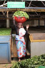 Highfields Tea Factory - Coonoor Tamil Nadu India (WanderingPhotosPJB) Tags: india tamilnadu ooty coonoor teaplantation teapickers tea highfieldsteafactory witheringtroughs workers