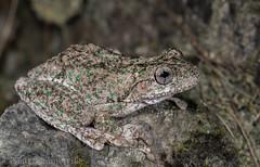 Peron's Tree Frog (Litoria peroni) (Mattsummerville) Tags: peronstreefrog litoriaperoni frog amphibian scottshead newsouthwales wildlife herping rain yarrahapinni