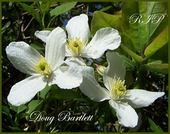 For Doug (ERIK THE CAT Struggling to keep up) Tags: flowers manor clematis stafford estate