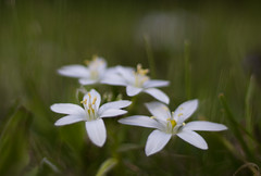 (zsolt75) Tags: canon100d 50mm 18 stm hungary nature green flower plant white april outdoor