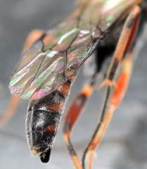 6.8 mm male ichneumon (ophis) Tags: hymenoptera parasitica ichneumonoidea ichneumonidae banchinae atrophini lissonota ichneumon
