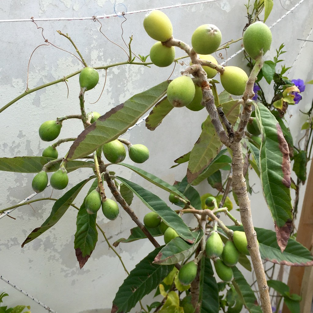 how to grow a loquat tree from a cutting