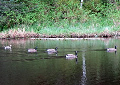 Geese at Moresby Pond (westietess) Tags: moresbypond birds april