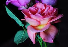 DSC_6724 (PeaTJay) Tags: nikond300s sigma reading lowerearley berkshire macro micro closeups gardens indoors nature flora fauna plants flowers rose roses rosebuds