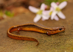 Southern Two-Lined Salamander (Eurycea cirrigera) (2ndPeter) Tags: southern twolined salamander eurycea cirrigera slimy amphibian stream illinois march spring 2017 creature critter animal wild nature flower peter paplanus peterpaplanus herp herping canonrebelt3i canon rebel t3i 100mmmacrolens 100mm macro lens gummy flickr rare