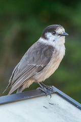 Grey Jay (D'hondt Timothy) Tags: animals birds greyjay hurricaneridge nationalpark nikond7100 olympic tamron16300mm usa washington