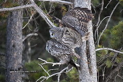 Great Gray Pornowlgraphy DSC_0790 (Ron Kube Photography) Tags: owl owls bird birds nature fauna ornithology alberta canada greatgrayowl greatgray southernalberta nikon nikond7200 d7200 ronaldok strixnebulosa globalbirdtrekkers ronkubephotography