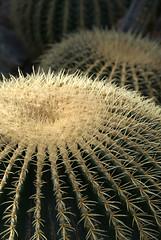 Mother-in-law's cushion (Jaedde & Sis) Tags: guldkugle echinocactusgrusoni cactus goldenbarrelcactus sticky sharp dof perpetualwinner challengeyouwinner sweep friendlychallenges cy2 challengegamewinner