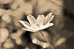 ✨ Filled with light... ✨ (Maria Godfrida) Tags: 7dwf sepia nature flora outdoor outside wild wildflower anemone white bokeh closeup light petals bright flowers flower wood woodanemone