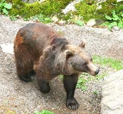 Bear 🐻 (carlesbaeza) Tags: oss oso bear animals wild wildlife nature fauna