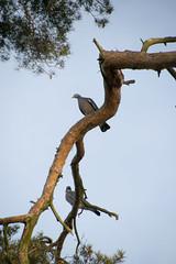 birds (maj-lis photo) Tags: birds sky pine