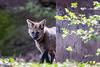 20170402-Mähnenwolf, Tiergarten Nürnberg-006.jpg (serpentes80) Tags: mähnenwolf tiere tiergartennürnberg