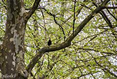 Siffle beau merle... (Crilion43) Tags: arbres france paysage merle ciel parc oiseaux nuages allier vichy auvergne corbeau corneille eau herbe pigeon rivière