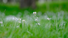 spring meadow (TorstenHein) Tags: wiese meadow flower blume gras grass depthoffield tiefenschärfe stimmung atmosphere fuji xt2 fujinon xf 100400 hein