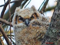 Close up view of Great Horned Owlet (Anton Shomali - Thank you for over 900K views) Tags: great horned owlet baby young bird tree branches close up closeup big bigbird eyes ears nose face feather nest owl