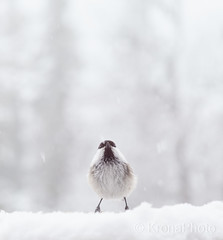 Please stop the snow, Norway (KronaPhoto) Tags: 2017 vår spring snø snow bird fugl weather vær alone cold norway