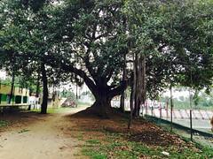 Generations of Tree! (Bhargav Kesavan) Tags: tree banyantree centuries oldtree branches leaves bigtree chennai tamilnadu nature green iphone photography