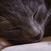 Sleeping blue cat