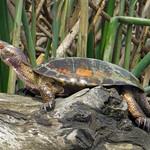 Western Pond Turtle thumbnail