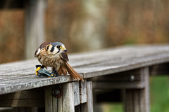 Doubt (Alfred Grupstra) Tags: hoenderdaell animal bird bokeh kestrel annapaulowna noordholland nederland nl nature wildlife beak outdoors feather animalsinthewild perching birdwatching brown oneanimal woodmaterial animalwing closeup colorimage sparrow beautyinnature sitting animals