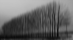 Sans feuilles / Without leaves (deplour) Tags: arbres lignée lined trees nb bw abstrait abstract inexplore explore explored