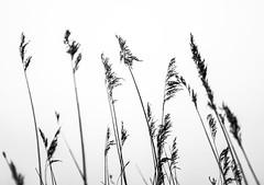Reeds (Wouter de Bruijn) Tags: fujifilm x100t fujinon23mmf2 reed reeds plant blackandwhite blackwhite bw monochrome outdoor depthoffield middelburg walcheren zeeland nederland netherlands holland dutch