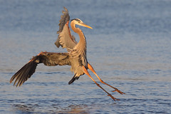 GBH (bmse) Tags: gbh great blue heron bolsa chica california golden light wings canon 7d2 400mm f56 l bmse salah baazizi wingsinmotion